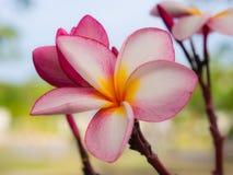 Закройте вверх по розовым цветкам frangipani Стоковые Изображения