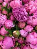 Закройте вверх по свежей предпосылке природы цветков пионов Стоковые Фото
