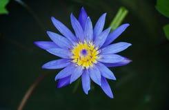 Закройте вверх по свежему цветению лотоса Стоковое Изображение
