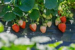Закройте вверх по свежим клубникам в плодоовощ сада Стоковое Фото