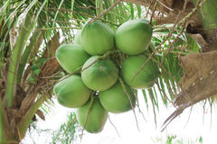 Закройте вверх по свежим кокосам с пуком на дереве Стоковая Фотография