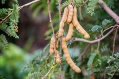 Закройте вверх по свежим фруктам тамаринда на дереве Азиатские superfruit и трава fruits тропическо отображайте для космоса предп стоковая фотография