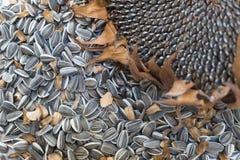 Закройте вверх по семенам подсолнуха и голове макроса Стоковое Изображение RF