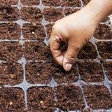 Закройте вверх по семени арбуза засева женщины руки Стоковое Изображение RF