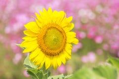 Закройте вверх по середине солнцецвета зацветая на поле Стоковые Изображения