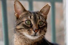 Закройте вверх по сиротливому коту с большими зелеными глазами, толстыми вискерами стоковое фото rf
