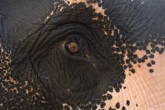 Закройте вверх по слону Азии глаза Стоковое Изображение