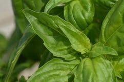 Закройте вверх по снаружи завода базилика зеленого цвета фото растущему в саде Стоковая Фотография