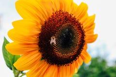 Закройте вверх по солнцецветам и пчеле летая стоковое изображение