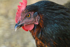 Закройте вверх по среднему цыпленку Стоковая Фотография RF