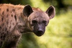 Закройте вверх по стороне гиены и наблюдайте смотреть к охотиться Стоковое фото RF