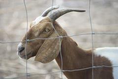 Закройте вверх по стороне козы в paddock, портрете козы, селективном фокусе Стоковая Фотография