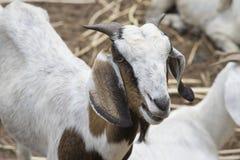 Закройте вверх по стороне козы, портрета козы Стоковое Изображение RF