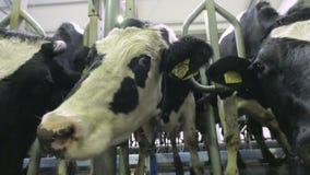 Закройте вверх по стороне коровы смешной, носу на ферме сток-видео