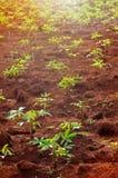 закройте вверх по строке iin дерева кассавы поле кассавы зеленого цвета природы Стоковое Изображение RF