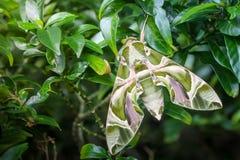 Закройте вверх по сумеречнице хоука олеандра бабочки зеленого цвета макроса на лист Стоковое Изображение RF