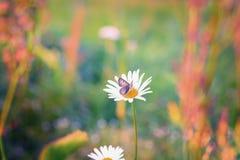 Закройте вверх по съемке бабочки на маргаритке Стоковые Изображения RF