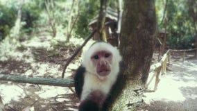 Закройте вверх по съемке белой смотреть на обезьяны сток-видео