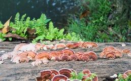 Закройте вверх по съемке гриба на древесине тимберса Стоковая Фотография RF