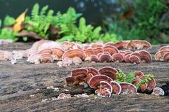 Закройте вверх по съемке гриба на древесине Стоковое фото RF