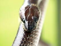 Закройте вверх по съемке коричневой змейки Стоковая Фотография