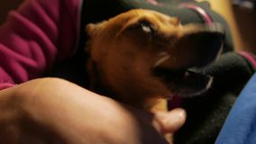 Закройте вверх по съемке маленького милого doggy 4k UHD видеоматериал