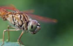 Закройте вверх по съемке на dragonfly стоковая фотография