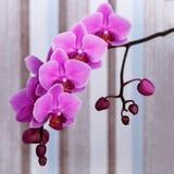 Закройте вверх по съемке розового цветка орхидеи Стоковое Изображение RF