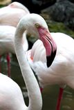 Закройте вверх по съемке фламингоа Стоковая Фотография
