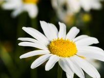Закройте вверх по съемке цветка маргаритки на поле стоковые фото