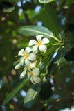 Закройте вверх по съемке цветка цветков Frangipani troppical стоковое изображение rf