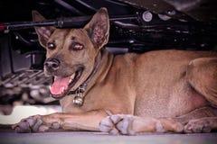 Закройте вверх по тайской собаке лежа на поле Стоковое Изображение