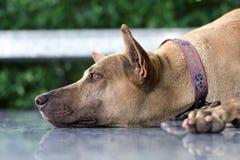 Закройте вверх по тайской собаке лежа на поле Стоковая Фотография RF