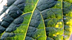 Закройте вверх по текстуре лист дерева во времени захода солнца сток-видео