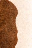 Закройте вверх по текстуре меха коровы Стоковые Изображения RF