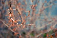 Закройте вверх по терниям на предпосылке ветвей Стоковое Изображение