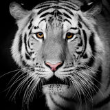 Закройте вверх по тигру Стоковое Фото