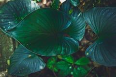 Закройте вверх по тропической предпосылке текстуры caladium лист зеленого цвета природы стоковое фото