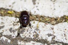 Закройте вверх по фото большого черного жука на белой поверхности стоковое фото