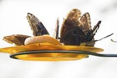 Закройте вверх по фото больших butterflys Стоковое Изображение