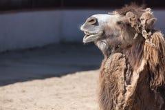 Закройте вверх по фото головы верблюда с зубами в зоопарке Стоковое Изображение