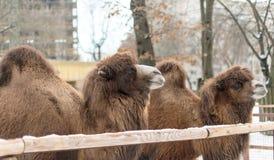 Закройте вверх по фото головы верблюда Стоковые Изображения RF