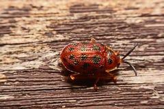 Закройте вверх по фото красочной божьей коровки ladybugs на bac древесины Стоковые Изображения