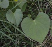 Закройте вверх по фото 2 листьев сформированных сердцем Стоковые Изображения