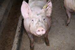 Закройте вверх по фото могущественной свиньи хавроньи Стоковое Фото