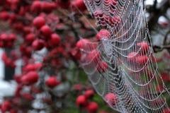 Закройте вверх по фото сети ` s паука при падения росы вися от красной яблони краба в осени Стоковая Фотография RF