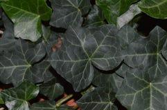 Закройте вверх по фото темного ого-зелен английского плюща растя в flowerbed в октябре Стоковые Фото