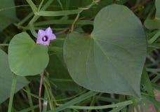 Закройте вверх по фото фиолетового цветка 2 листьями сформированными сердцем Стоковые Фотографии RF