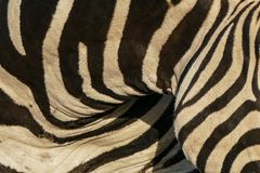 Закройте вверх по фото шеи зебры в движении показывая картины и нашивки Стоковая Фотография RF