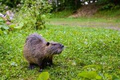 Закройте вверх по фото nutria, также вызванному нутрией или крысой реки, против зеленой предпосылки стоковая фотография rf